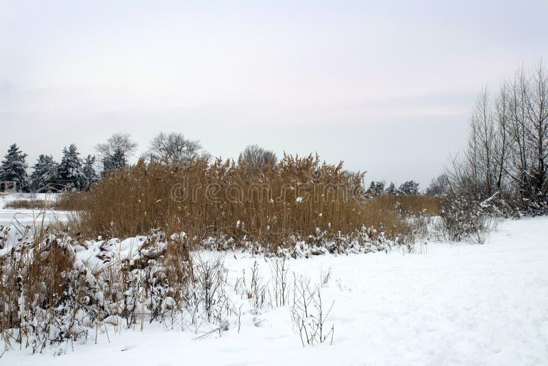 Roseaux dans le premier plan Berge congelée d'hiver photos libres de droits
