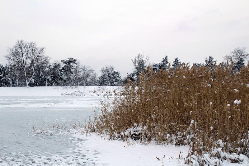 Roseaux dans le premier plan Berge congelée d'hiver image libre de droits