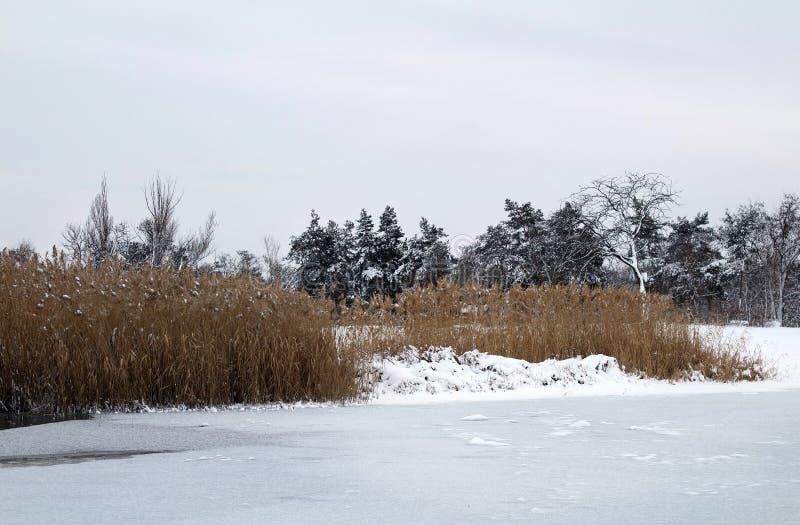 Roseaux dans le premier plan Berge congelée d'hiver photo libre de droits