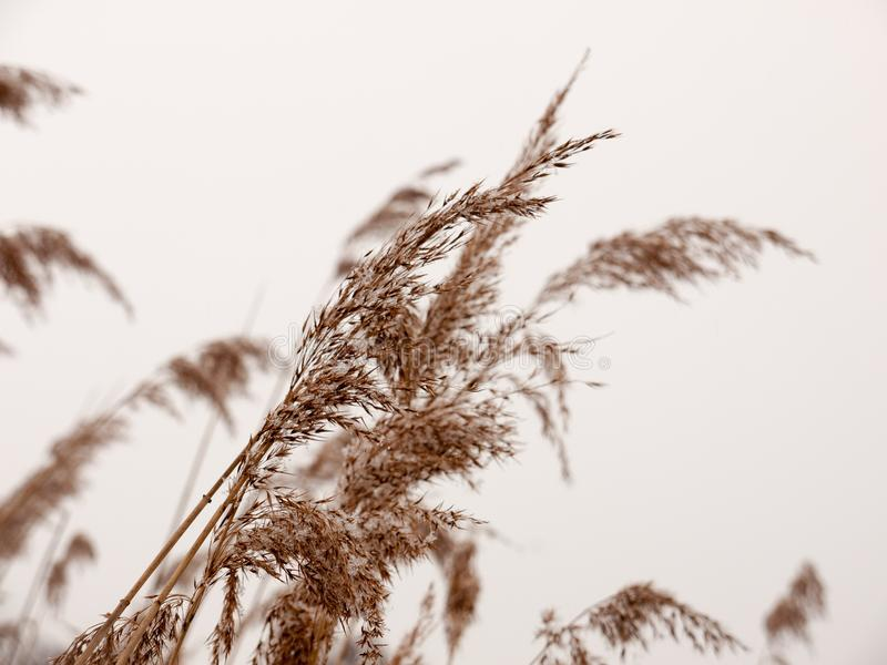 Roseaux dehors avec la fin blanche d'hiver de nature de fond de neige de ciel photos stock