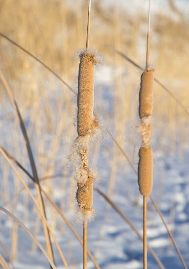 Roseaux en nature d'hiver image stock