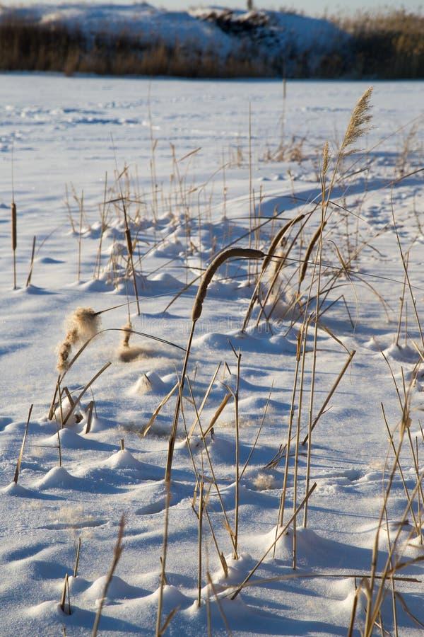 Roseaux en nature d'hiver image libre de droits