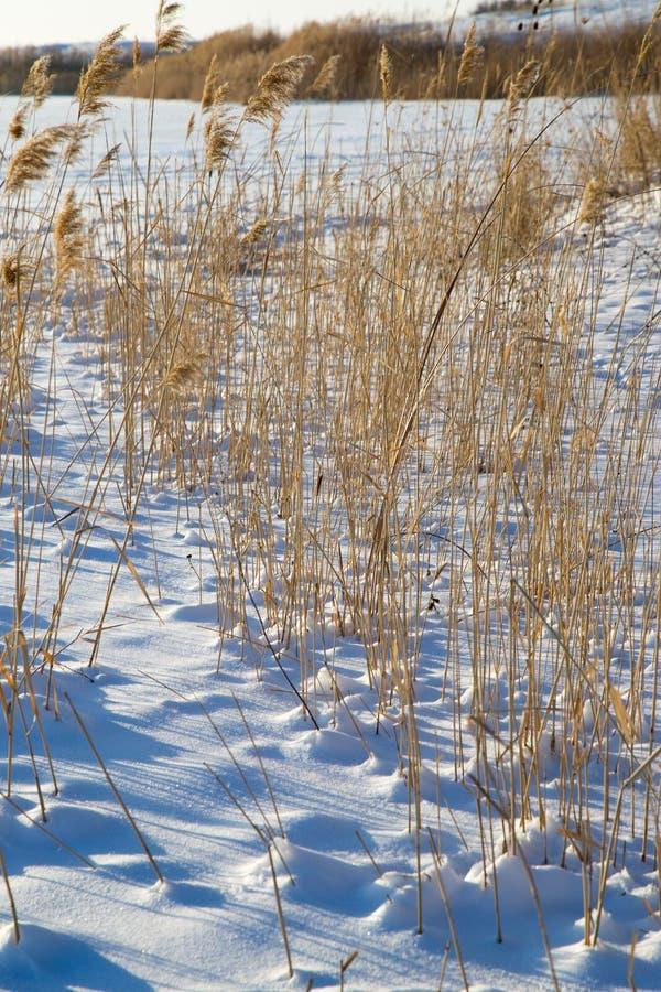 Roseaux en nature d'hiver photo stock