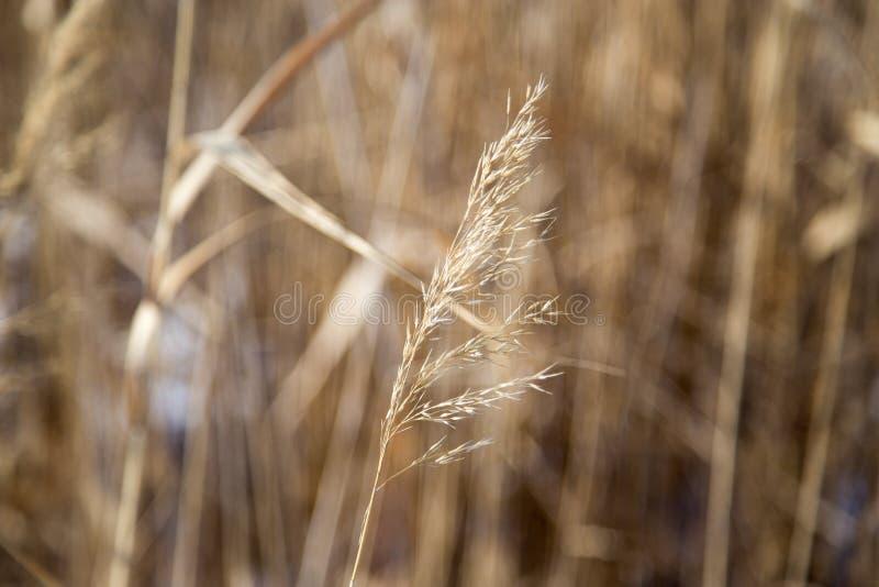 Roseaux en nature d'hiver photographie stock