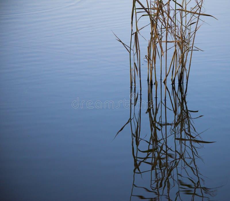 Roseaux fins dans un lac bleu-gris photos stock