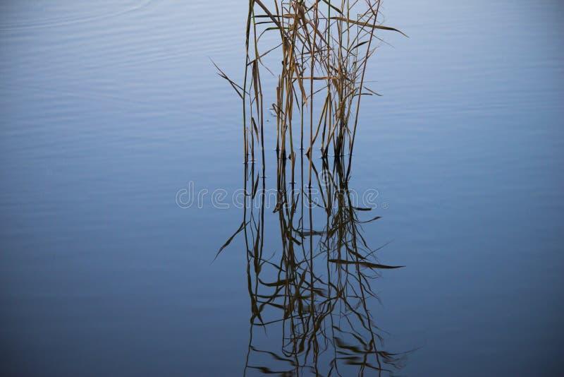 Roseaux fins dans un lac bleu-gris image libre de droits