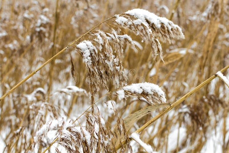 Roseaux secs couverts de neige photographie stock libre de droits