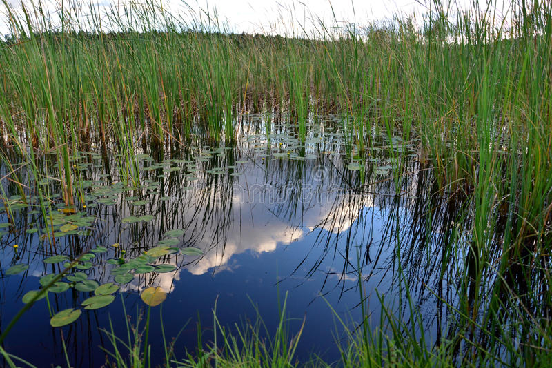 Roseaux sur le lac photos stock