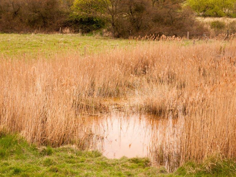 Roseaux sur le lac le jour venteux roseaux Jaune-bruns dans le lac o photos libres de droits