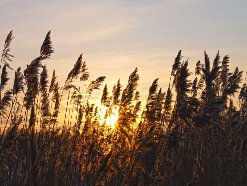 Roseaux sur un coucher du soleil. image libre de droits