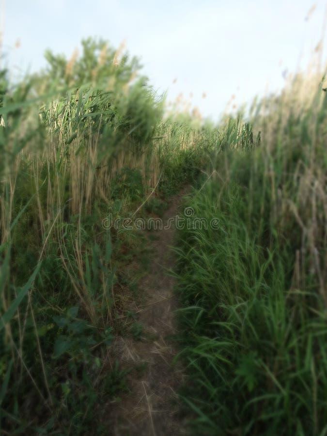 Roseaux verts, chemin photographie stock libre de droits