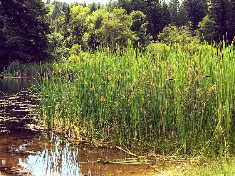 Roseaux verts par l'étang photographie stock libre de droits