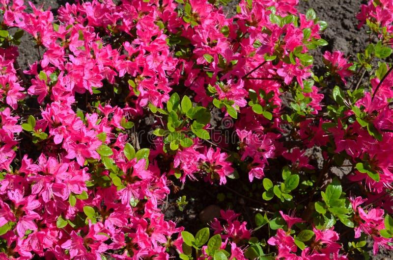 rosebay övre livligt för tät rosa röd rhododendron arkivfoto