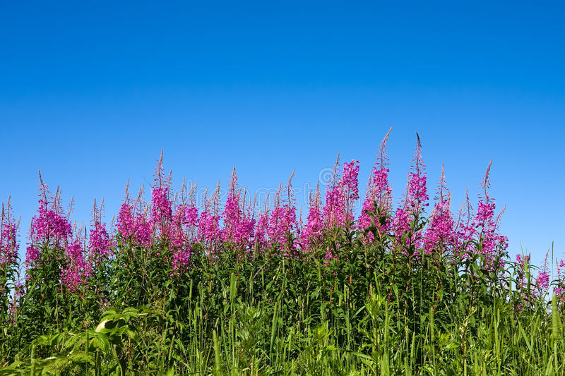 rosebay willowherb fotografia stock