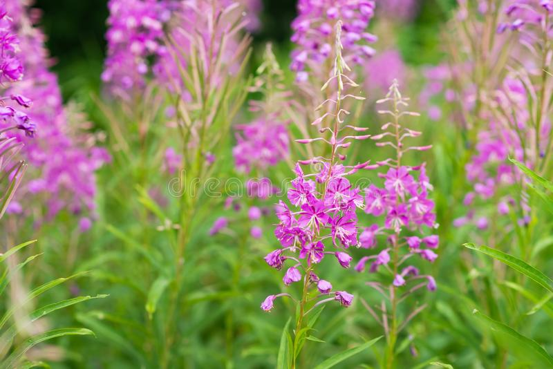 Rosebay willowherb or fireweed closeup, violet, purple flower background. Nature royalty free stock photos