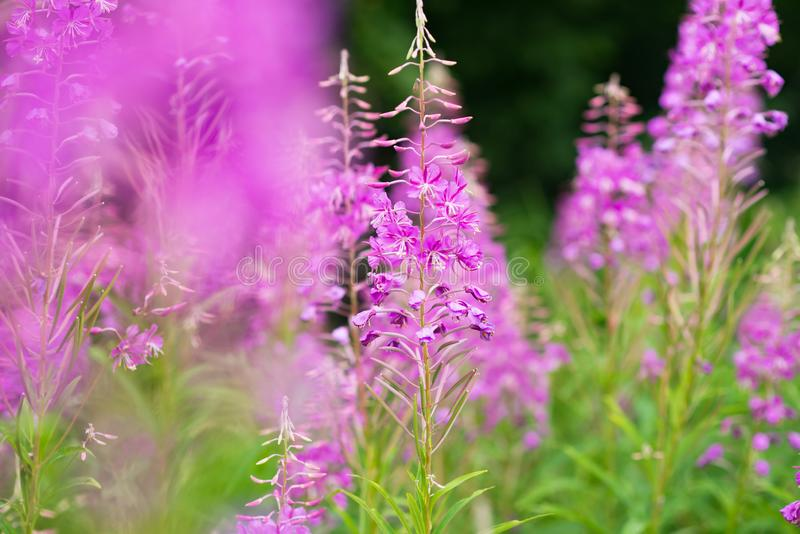 Rosebay willowherb or fireweed closeup, violet, purple flower background. Nature stock photo