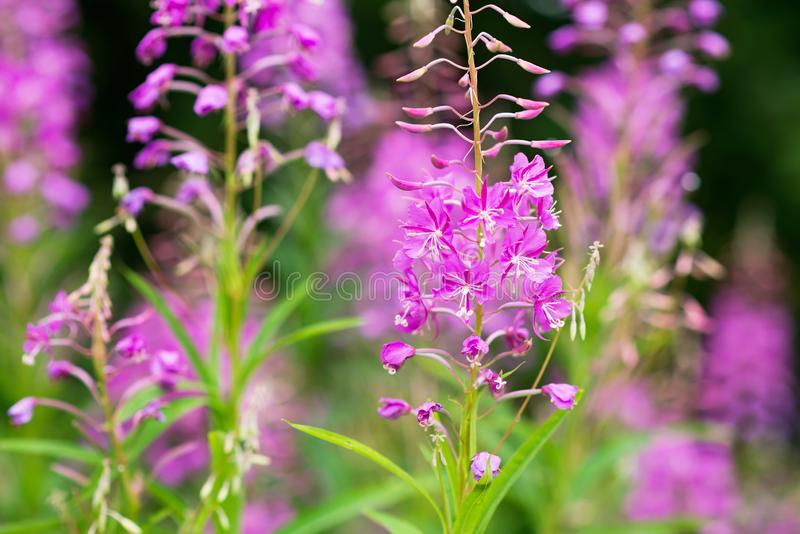 Rosebay willowherb or fireweed closeup, violet, purple flower background. Nature stock photography