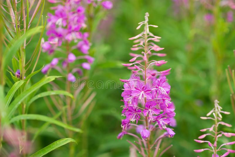 Rosebay willowherb or fireweed closeup, violet, purple flower background. Nature stock photos