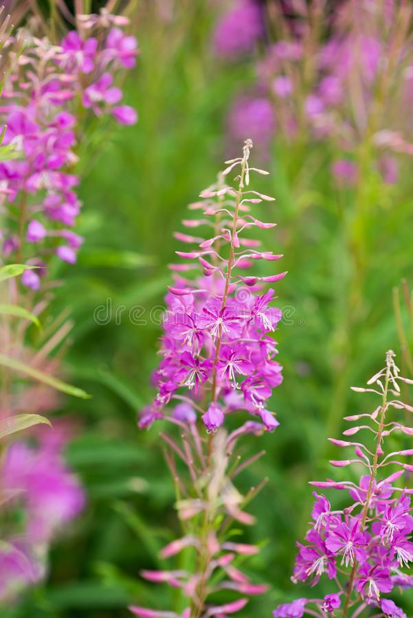 Rosebay willowherb or fireweed closeup, violet, purple flower background. Nature royalty free stock image
