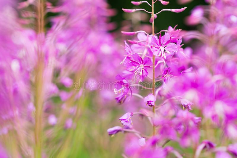 Rosebay willowherb or fireweed closeup, violet, purple flower background. Nature royalty free stock photo
