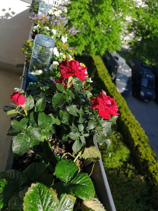 Rosebed på en solig dag arkivbild
