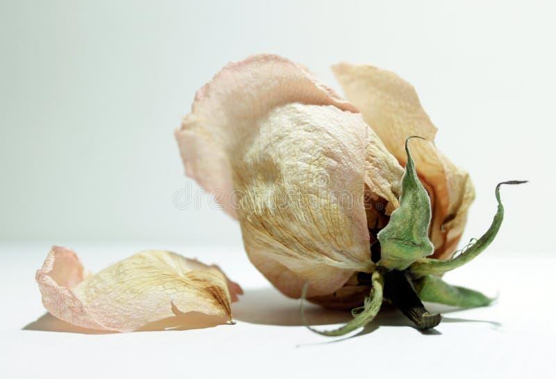 rosebud завял стоковое фото rf