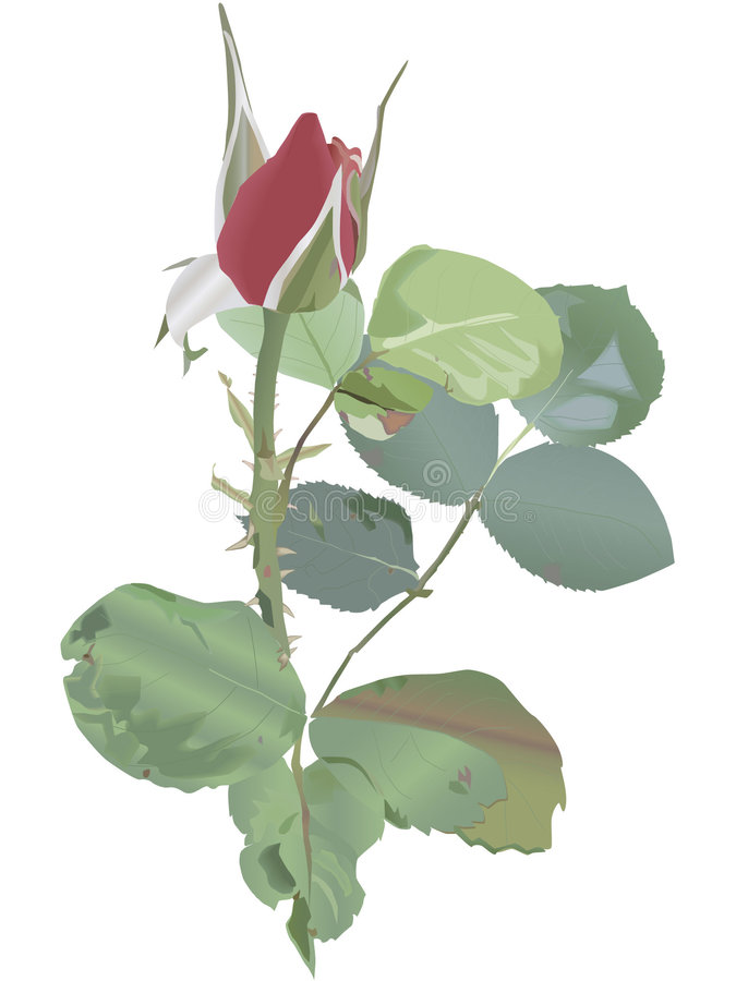 Rosebud lizenzfreie stockbilder