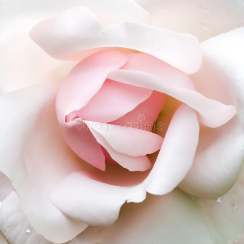 rosebud fotografie stock libere da diritti