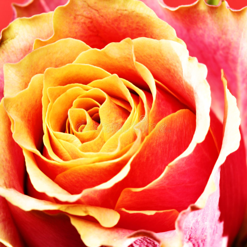 rosebud royaltyfria foton