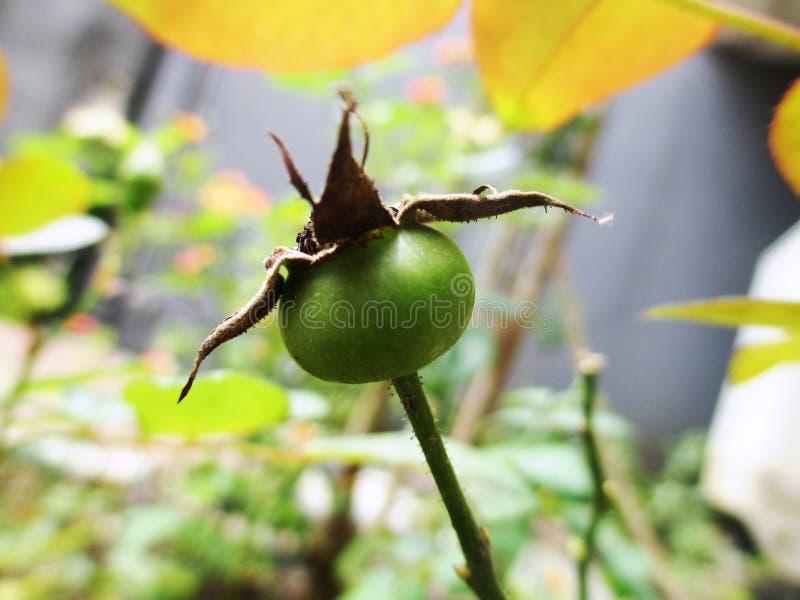 rosebud stockbild