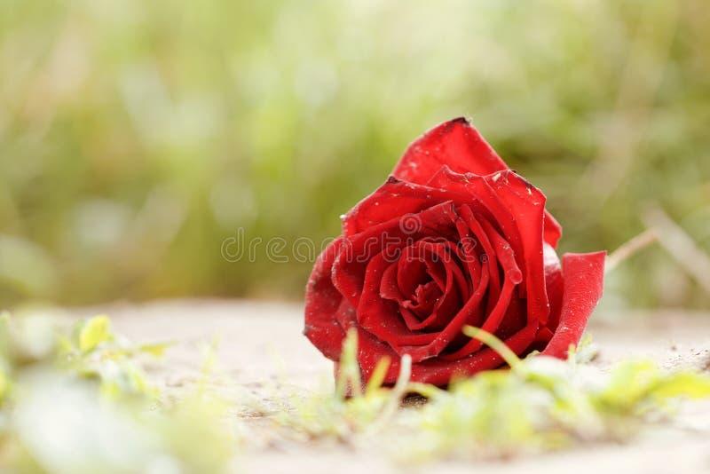 Rosebud aus den Grund Selektiver Fokus Nahaufnahme Konzept des Verlustes, verlorene Liebe Kopieren Sie Platz lizenzfreie stockbilder