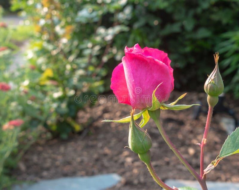 Rosebud begint in een tuin te openen royalty-vrije stock fotografie