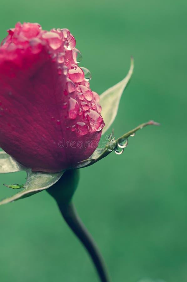 Rosebud with drops royalty free stock photos