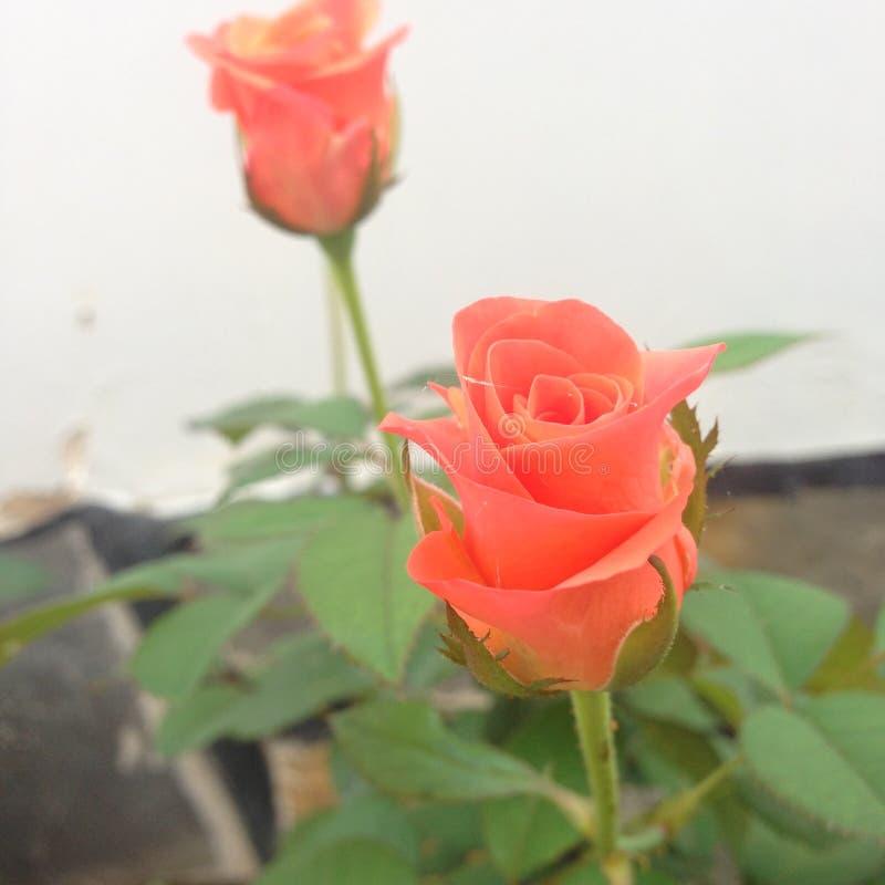 Rosebud am frühen Morgen lizenzfreies stockbild