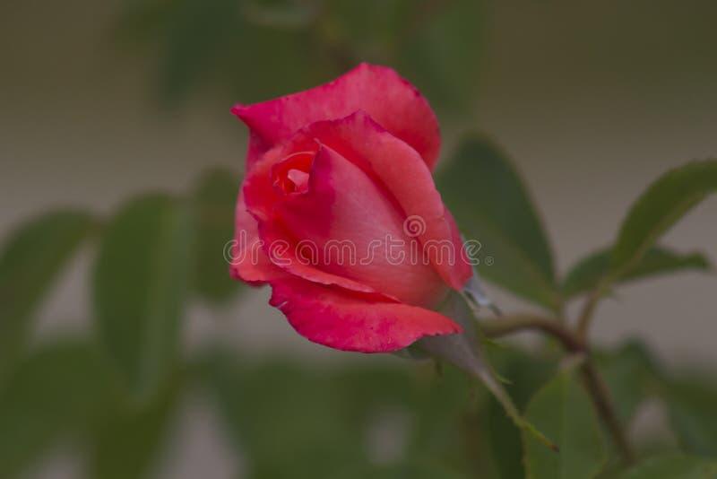 Rosebud in the garden stock photography