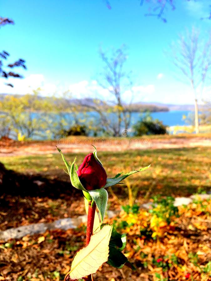 Rosebud im Frühjahr lizenzfreie stockfotos