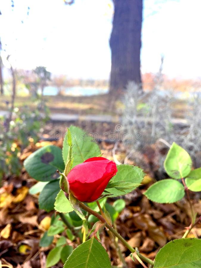 Rosebud im Frühjahr stockfotos
