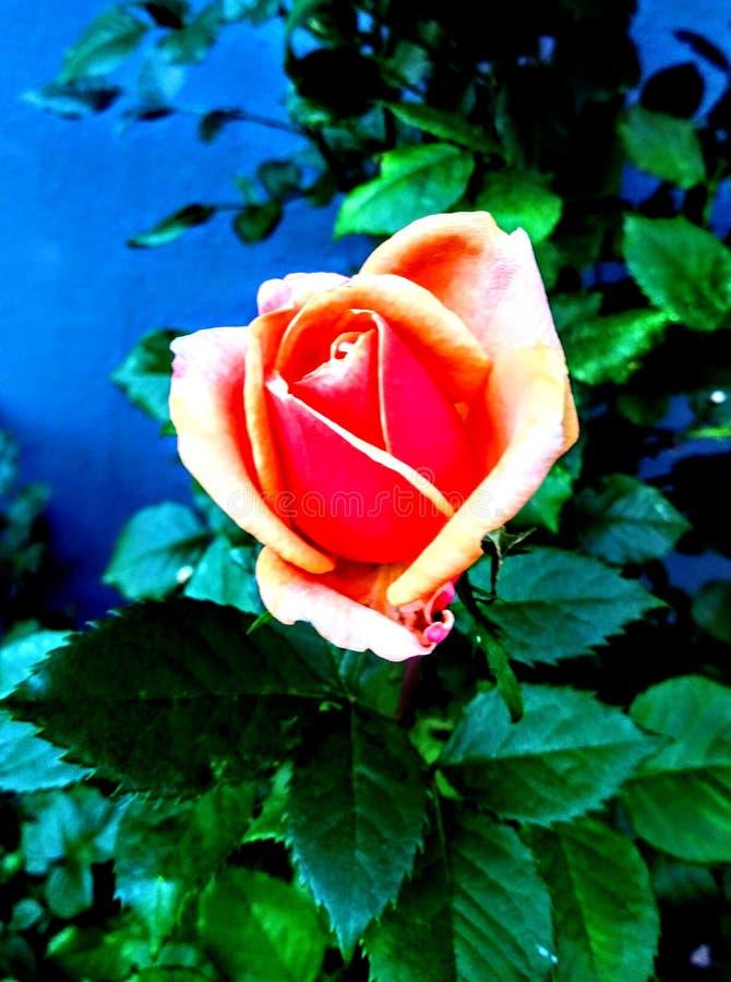 rosebud stockbilder