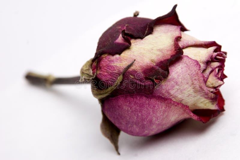Rosebud verbließ lizenzfreies stockbild