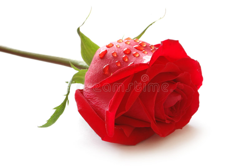 Rosebud with water drops stock photos