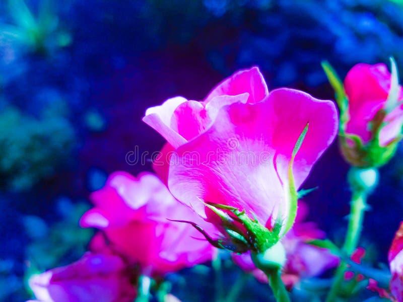 rosebuds royalty-vrije stock afbeelding