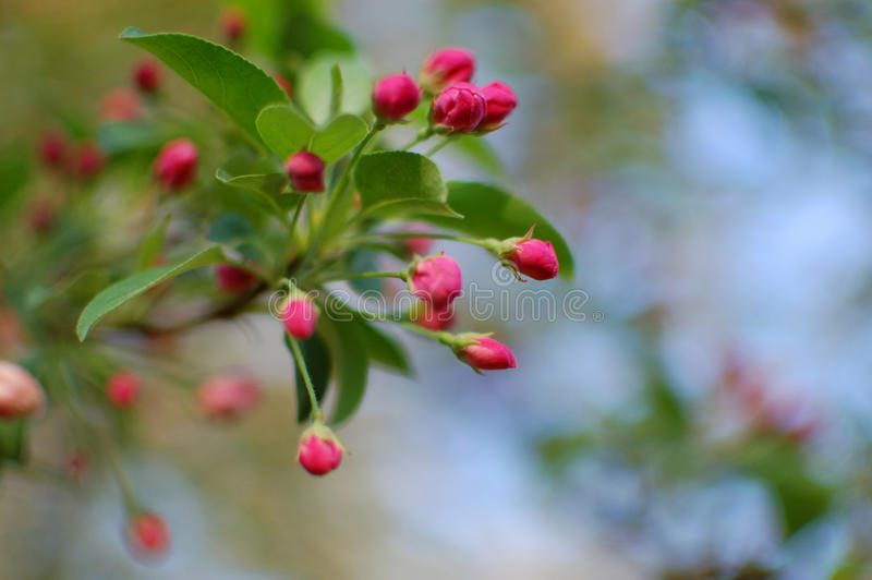Download Rosebuds stock photo. Image of florist, floral, grow - 13943140