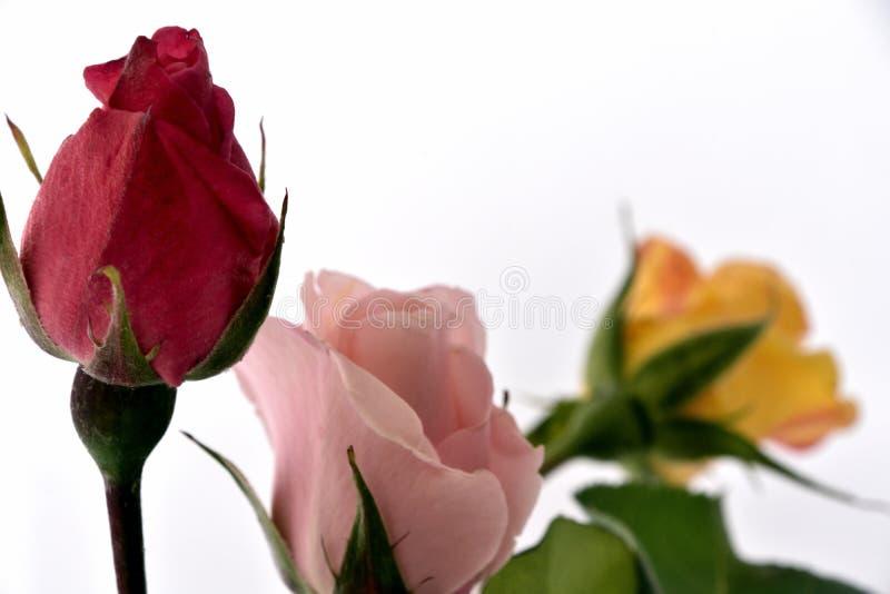rosebuds stockbilder