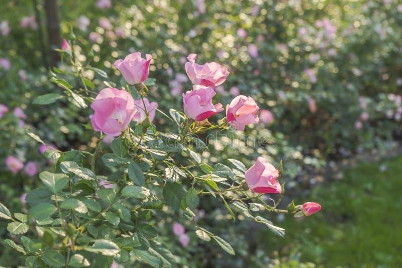 Rosebush bij zonsondergang stock fotografie