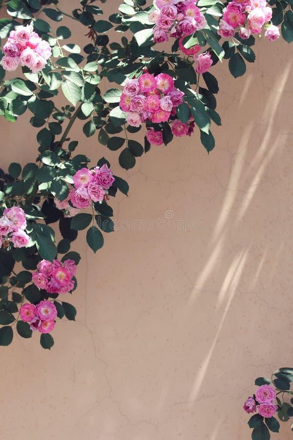 Rosebush cor-de-rosa e roxo da parede da flor imagens de stock royalty free