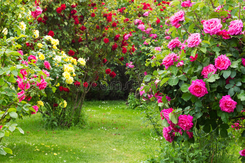 Rosebush. Different kind of roses in a garden royalty free stock photo