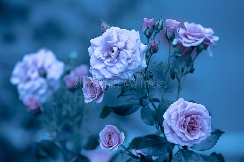 Rosebush in the garden. Blue vintage flower nature background stock photo