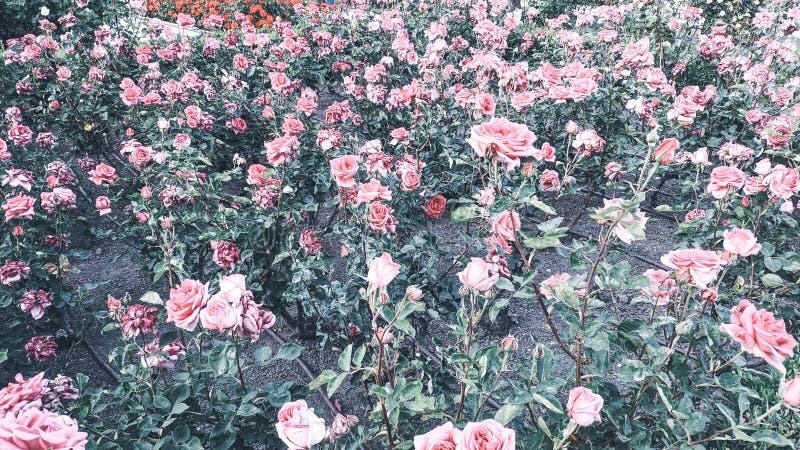 Rosebush-Hintergrund von rosa Rosen lizenzfreie stockfotos