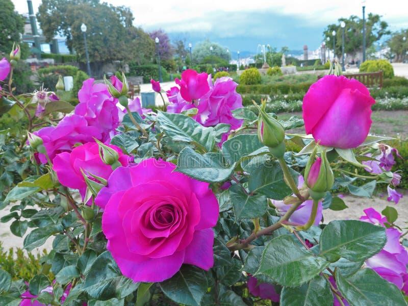 Rosebush no parque montjuic imagem de stock