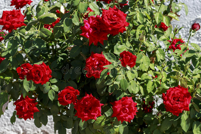 Rosebush with red roses. Rosebush full of red roses in a garden royalty free stock photography
